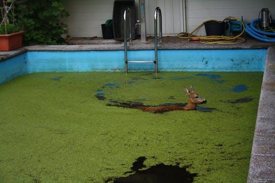 In Leonding stürzte ein Reh in einen Pool, konnte sich alleine nicht mehr befreien.
