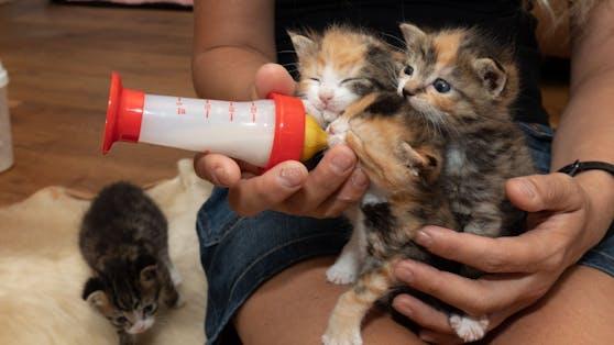 Katzenbabys schmusen und wollen gleichzeitig an der Flasche trinken.