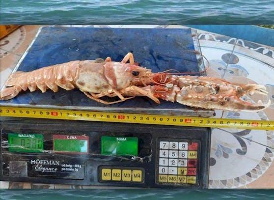 Mega-Scampi aus der Adria gefischt.