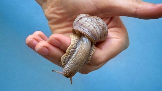 Weinbergschnecken sind keine Schädlinge, werden aber ebenso vom Schneckenkorn dahingerafft