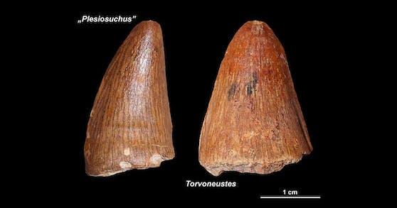 Diese Zähne stammen von bisher unbekannten Meereskrokodilen.