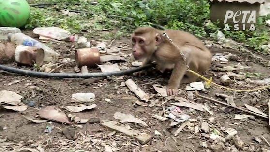 Unzählige Affenkinder werden in der Kokosnuss-Industrie zum Pflücken gezwungen, misshandelt und ausgebeutet.