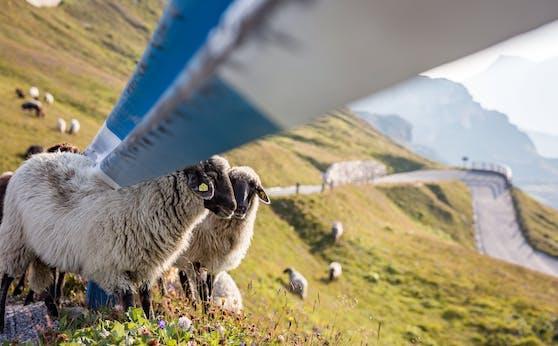 Schafe bei der Großglockner Hochalpenstraße (Archivfoto)