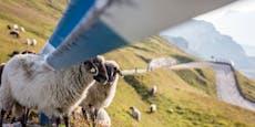 Wölfe richten Blutbad unter Schafen in Salzburg an