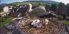 Dorf hilft Storchenpapa mit Nachwuchs