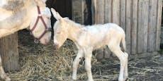 Abgestürzte Eselstute bekam jetzt selbst Nachwuchs