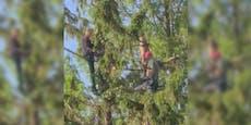 Männer zersägen Baum ungesichert in 10 Metern Höhe