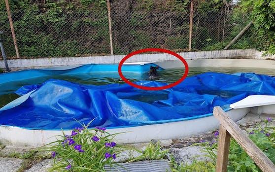 Arme Sau! Das Wildschwein musste unfreiwillig ein paar Runden drehen, bis die Rettungseinsätze eintrafen.