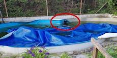 Arme Sau! Wildschwein kam nicht mehr aus dem Pool