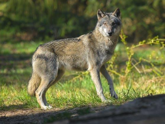 Der Wolf ist in Österreich wieder auf dem Vormarsch.