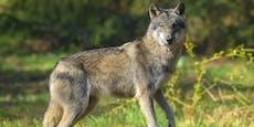 Wolf auf Bundesstraße angefahren, Polizei warnt