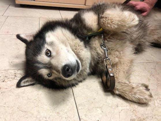 Dieser Husky wurde in Wien gerettet.