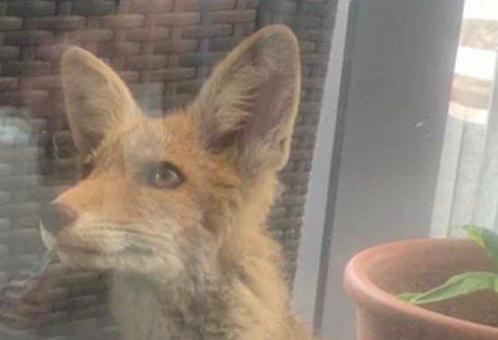 Jetzt ist Schulschluss für den schlauen Fuchs.