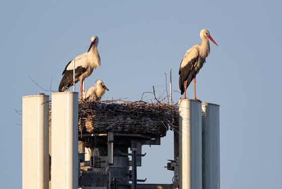 A1 5G Sender bietet Storchenfamilie ein sicheres Zuhause.
