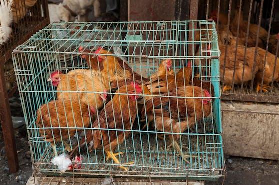 Unwürdige Tierhaltung soll bis 2027 verboten werden.