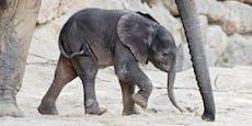 Schock in Schönbrunn! Elefanten-Baby Kibali gestorben