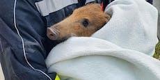 Schwein gehabt! Frischling verirrte sich auf A5