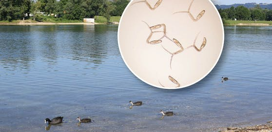 So sehen die Zerkarien aus, die sich im Linzer Pleschinger See tummeln.