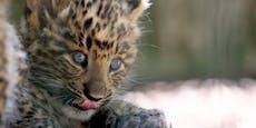 Leoparden-Zwillinge aus Haag wagen sich ins Freigehege