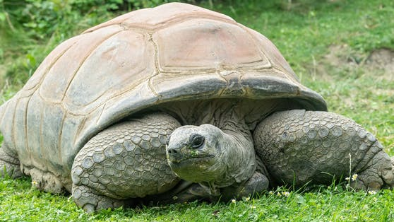 """Riesenschildkröte """"Schurli"""" ist tot."""