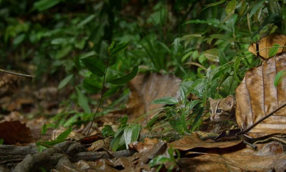 """Die sogenannte """"Rostkatze"""" ist kaum größer als ein kleines Hauskatzen-Kitten."""