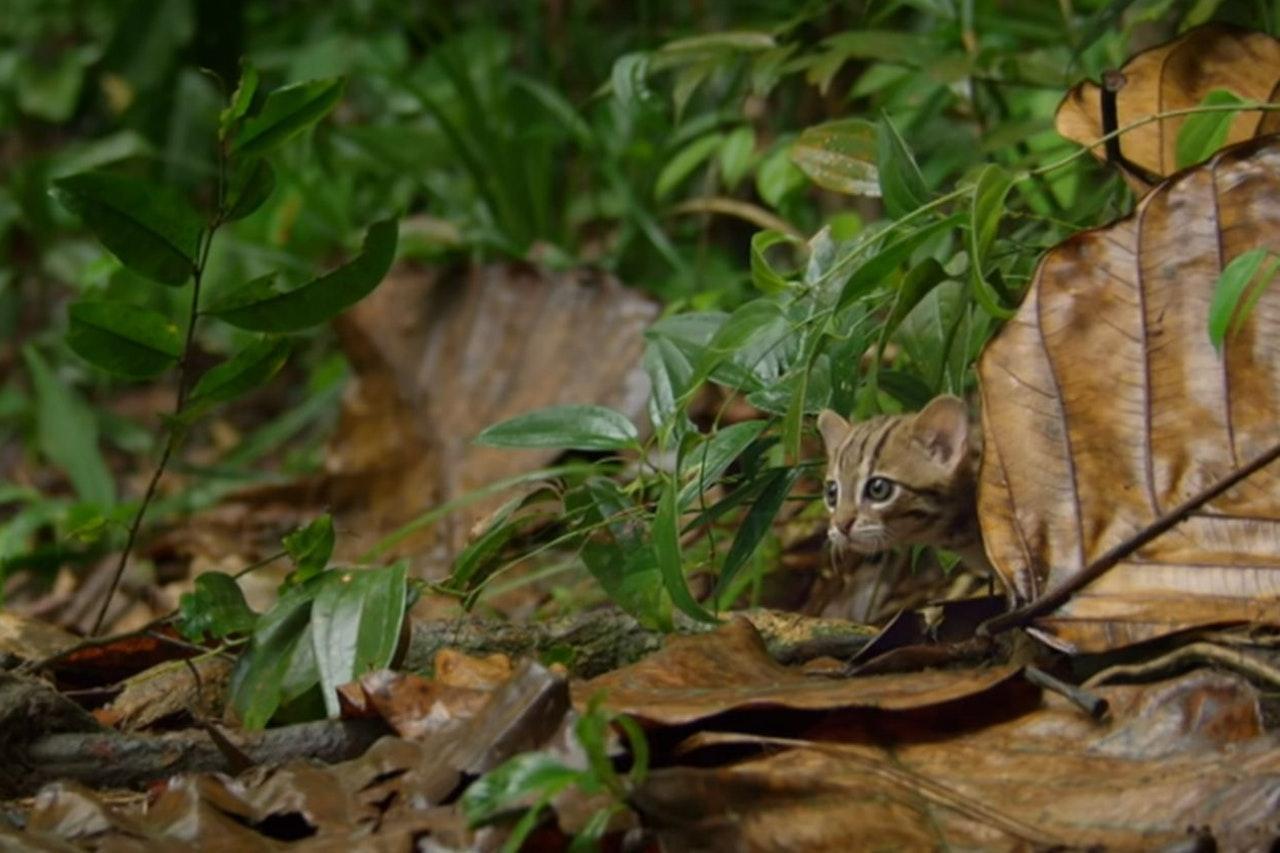 Katzen der welt kleinste Die seltenste