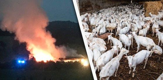 Dienstag in den frühen Morgenstunden wurden auf einem Bauernhof im Bezirk Kirchdorf etliche Ziegen gerettet.