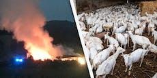 Dutzende Ziegen bei Großbrand auf Bauernhof gerettet