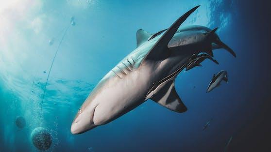 200 Tonnen (!!) Haiprodukte wurden zwischen 2012 und 2019 nach Österreich importiert.