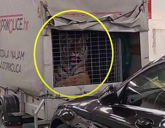 Bei einer Fährenfahrt zur Insel Hvar reisten die Passagiere unwissend mit einem exotischen Tier – einem Tiger.