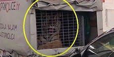 """""""Wussten nichts"""": Tiger auf Kroatien-Fähre geschmuggelt"""