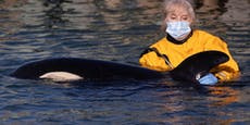 Orca-Baby gestrandet - sucht verzweifelt nach Herde