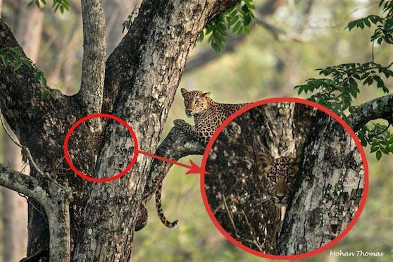 Tatsächlich. Hier sieht man das Leoparden-Junges ganz deutlich.