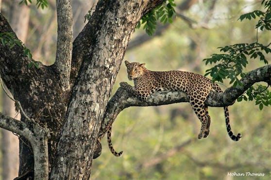 Zwei Leoparden? Ich seh' nur einen... und ein Schwafferl.
