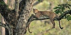 Zwei Leoparden? Ich seh' nur einen...