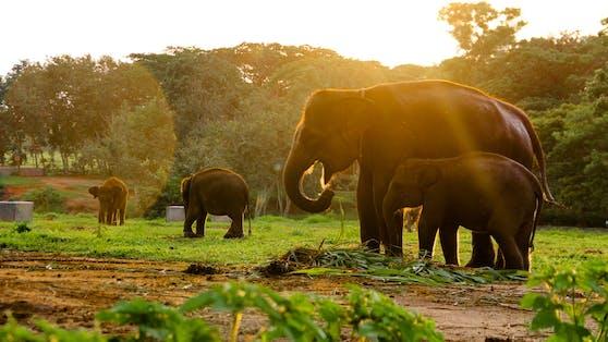 (Symboldbild) Furchtbar! In der indonesischen Provinz Aceh wurde ein seltener Sumatra-Elefant vergiftet und enthauptet.