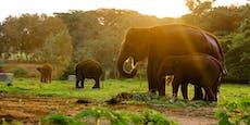 Seltener Elefant vergiftet und enthauptet