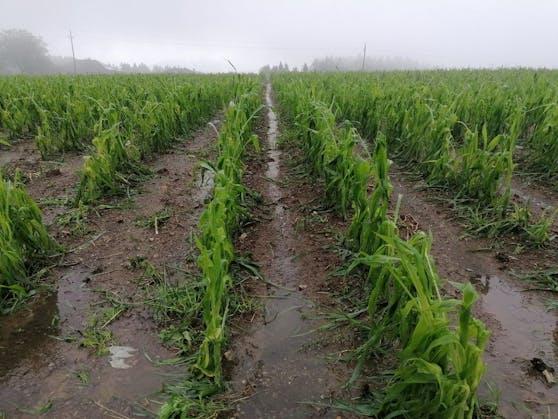 In Oberneukirchen in OÖ wurde dieses Maisfeld am Mittwochabend völlig zerstört.