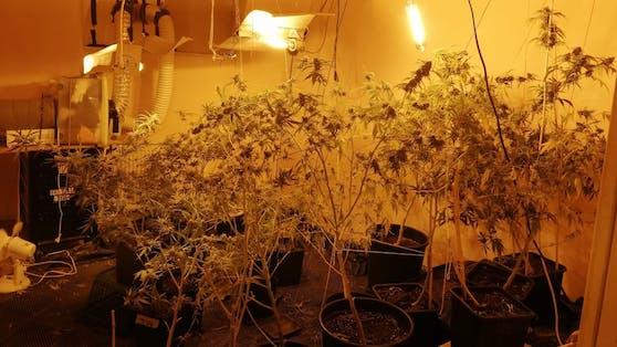 Alle Cannabis-Pflanzen seien zum Eigenbedarf, so der Verdächtige