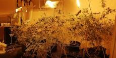 Musik-Lärm lockt Polizisten zu 100 Cannabispflanzen