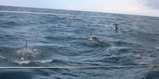 30 Killerwale attackierten stundenlang Segelyacht