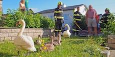 Schwäne verirrten sich in Stadt– Feuerwehr half