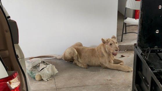 Dem 18 Monate alten Löwen wurden Krallen und Eckzähne entfernt.