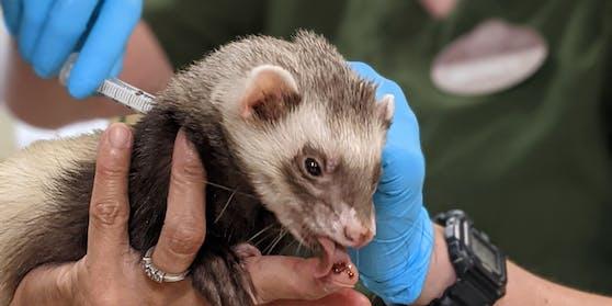 Ein Frettchen wird im Zoo von Oakland gegen Corona geimpft.