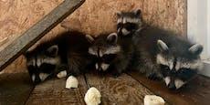 Behörde droht Tierpark Buchenberg mit Waschbären-Verbot