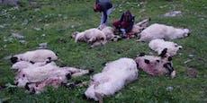 Dutzende Risse – Bauern treiben Schafe früher ins Tal