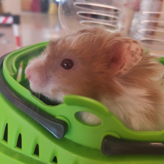 """Teddy-Hamster """"Kopernikus"""" wurde in Liesing bei den Mistkübeln entdeckt."""