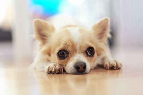 Einen Chihuahua wollte eine 56-Jährige kaufen. Doch stattdessen wurde sie abgezockt.
