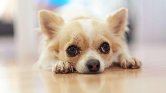 (Symbolbild) Einem kleinen Chihuahua-Rüden wurde etwas Schlimmes angetan...