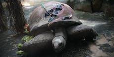 """Riesenschildkröte """"Schurli"""" wird mit Magensonde ernährt"""